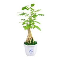 维尼小盆栽绿宝盆栽 办公室盆栽净化空气植物 室内桌面小盆栽园艺绿植花卉