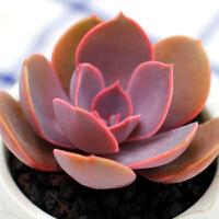 景禾 丁香多肉植物多肉办公室室内植物绿植创意花卉盆栽组合进口