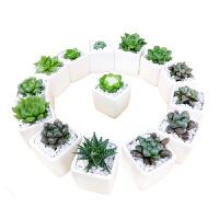 维尼小盆栽姬玉露 多肉植物十二卷属超萌室内多肉组合小盆栽绿植