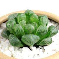 景禾 姬玉露多肉植物 精选肉肉 办公桌室内防辐射盆栽绿植花卉